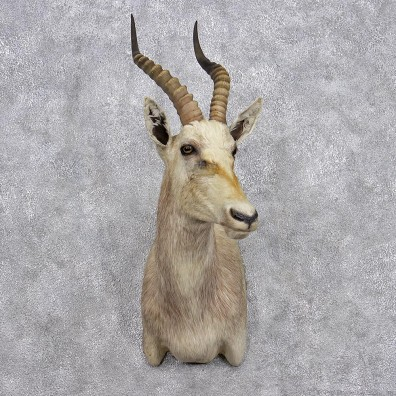 African White Blesbok Shoulder Taxidermy Mount #10666 For Sale @ The Taxidermy Store