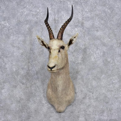 African White Blesbok Taxidermy Shoulder Mount #12361 For Sale @The Taxidermy Store