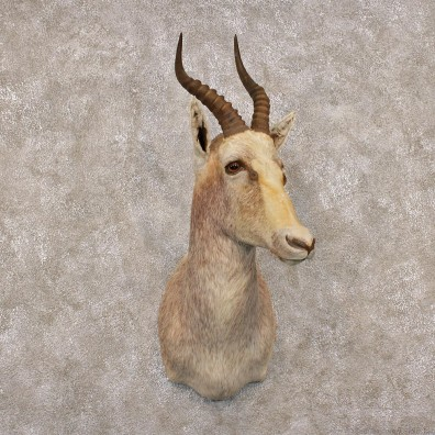 African White Blesbok Taxidermy Shoulder Mount #12297 For Sale @The Taxidermy Store