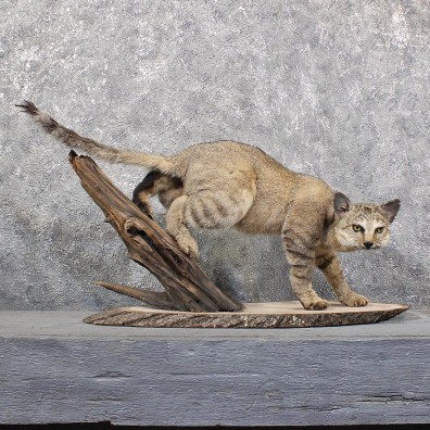 African Wildcat Mount #11629 - For Sale @ The Taxidermy Store