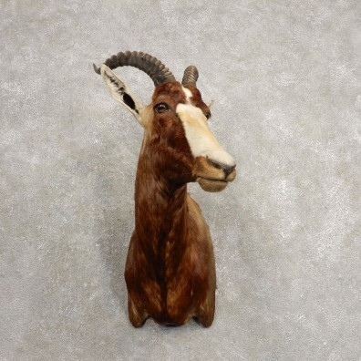 African Blesbok Shoulder Mount For Sale #20472 @ The Taxidermy Store