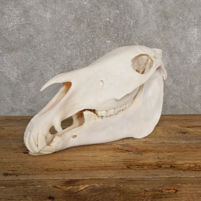 African Burchell's Zebra Skull Mount #20219 For Sale @ The Taxidermy Store