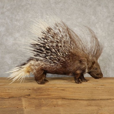 African Crested Porcupine Mount For Sale #20360 @ The Taxidermy Store