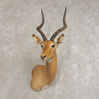 African Impala Shoulder Taxidermy Mount #21479 For Sale @ The Taxidermy Store