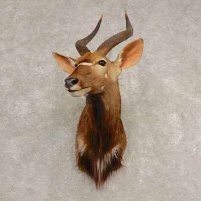African Nyala Taxidermy Shoulder Mount #21584 For Sale @ The Taxidermy Store