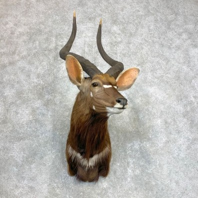 African Nyala Taxidermy Shoulder Mount #22132 For Sale @ The Taxidermy Store