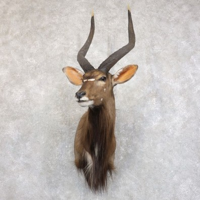 African Nyala Taxidermy Shoulder Mount #22232 For Sale @ The Taxidermy Store