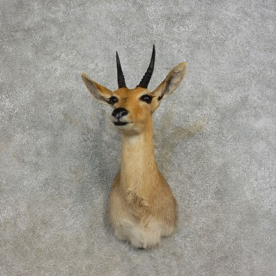 Common Reedbuck Shoulder Mount For Sale #17266 @ The Taxidermy Store