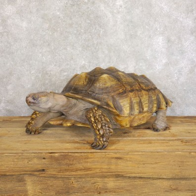 African Spurred Tortoise Taxidermy Mount For Sale - #22222
