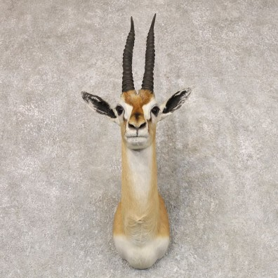 African Thomson's Gazelle Taxidermy Shoulder Mount #22526 - For Sale @ The Taxidermy Store