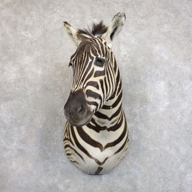 African Zebra Shoulder Mount For Sale #22576 @ The Taxidermy Store