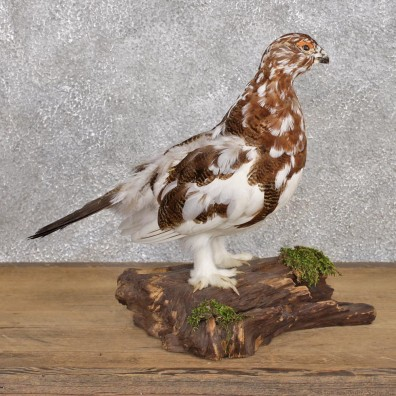 Standing Willow Ptarmigan Taxidermy Bird Mount #12395 For Sale @ The Taxidermy Store