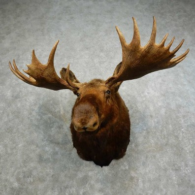 Alaskan Yukon Moose Shoulder Mount For Sale #16866 @ The Taxidermy Store