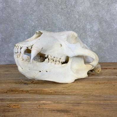 Alaskan Brown Bear Full Skull Mount For Sale #21220 @ The Taxidermy Store