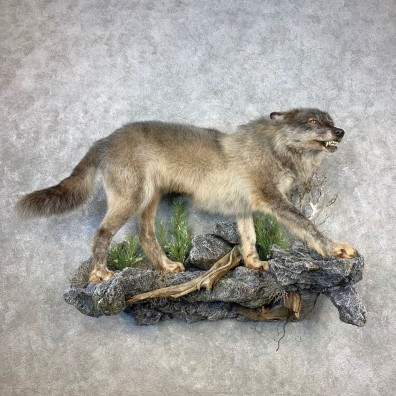Alaskan Gray Wolf Life-Size Mount For Sale #21648 @ The Taxidermy Store