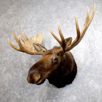 Alaskan Moose Shoulder Mount #18609 - The Taxidermy Store