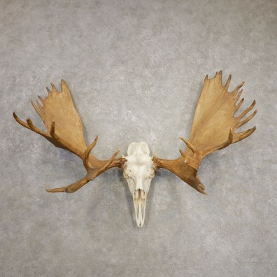 Alaskan Yukon Moose Skull European Mount For Sale #20454 @ The Taxidermy Store