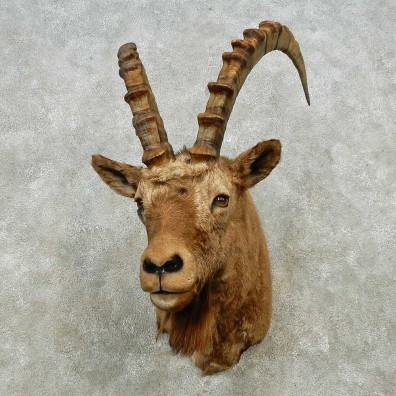 Alpine Ibex Shoulder Mount For Sale #14567 @ The Taxidermy Store