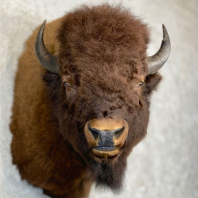 American Bison Shoulder Mount For Sale #21718 @ The Taxidermy Store