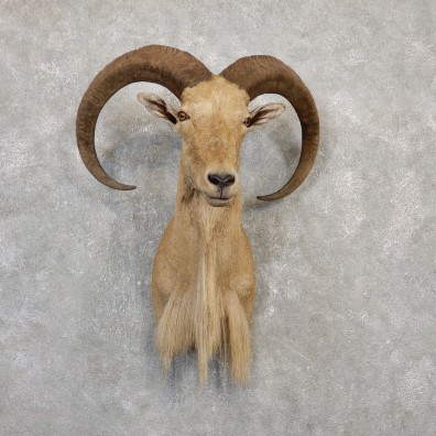 Aoudad Shoulder Mount For Sale #20018 @ The Taxidermy Store
