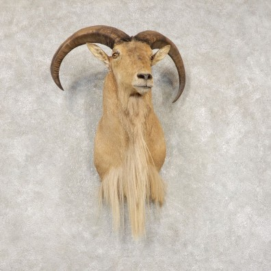 Aoudad Shoulder Mount For Sale #21434 @ The Taxidermy Store