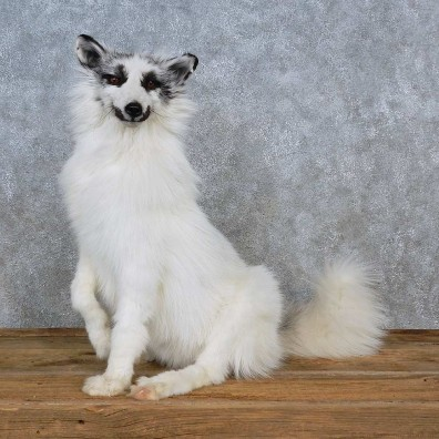Arctic Marble Fox Life-Size Mount For Sale #15594 @ The Taxidermy Store
