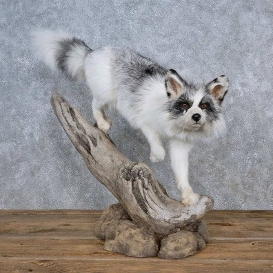 Arctic Marble Fox Life-Size Mount For Sale #15595 @ The Taxidermy Store