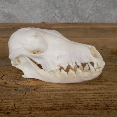 Arctic Fox Skull Mount For Sale #19272 @ The Taxidermy Store
