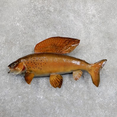 Arctic Grayling Fish Mount For Sale #19672 @ The Taxidermy Store