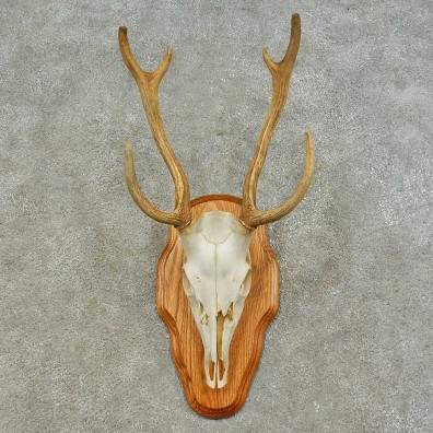 Axis Deer Skull & Horn European Mount For Sale #16371 @ The Taxidermy Store