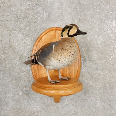 Baikal Teal Duck Bird Mount For Sale #20601 @ The Taxidermy Store