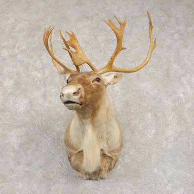 Barren Ground Caribou Shoulder Mount For Sale #21414 @ The Taxidermy Store