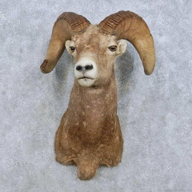 Bighorn Sheep Shoulder Mount For Sale #15014 @ The Taxidermy Store