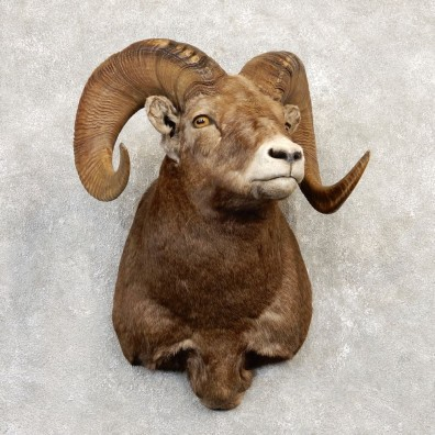 Bighorn Sheep Shoulder Mount For Sale #20218 @ The Taxidermy Store