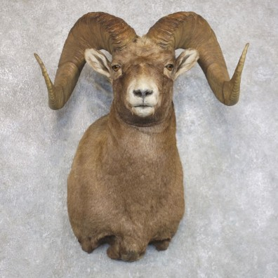 Bighorn Sheep Shoulder Mount For Sale #22145 @ The Taxidermy Store