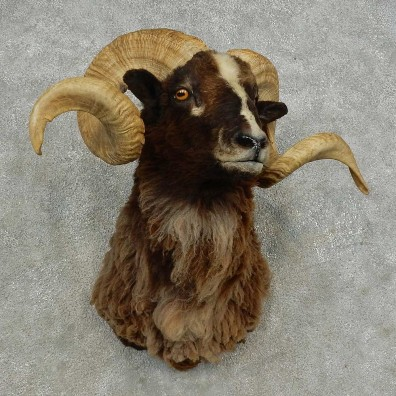 Black Hawaiian Ram Shoulder Mount For Sale #16874 @ The Taxidermy Store