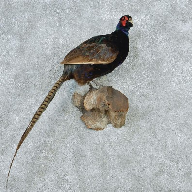 how to use a pheasant call