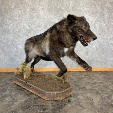Black Alaskan Grey Wolf Mount For Sale #21738 @ The Taxidermy Store