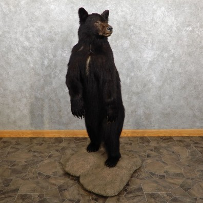 Black Bear Life-Size Mount For Sale #19458 @ The Taxidermy Store