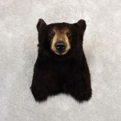 Black Bear Shoulder Mount For Sale #20782 @ The Taxidermy Store