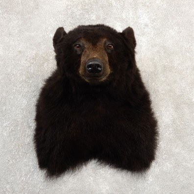 Black Bear Shoulder Mount For Sale #20784 @ The Taxidermy Store