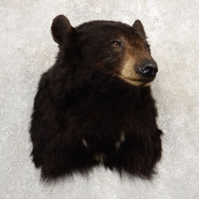 Black Bear Shoulder Mount For Sale #20785 @ The Taxidermy Store