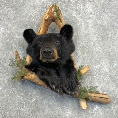 Black Bear Shoulder Mount For Sale #22135 @ The Taxidermy Store