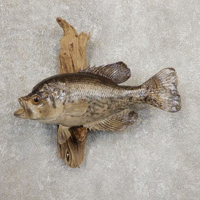 Black Crappie Taxidermy Fish Mount #20925 For Sale @ The Taxidermy Store