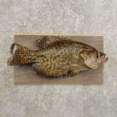 Black Crappie Taxidermy Fish Mount #20979 For Sale @ The Taxidermy Store