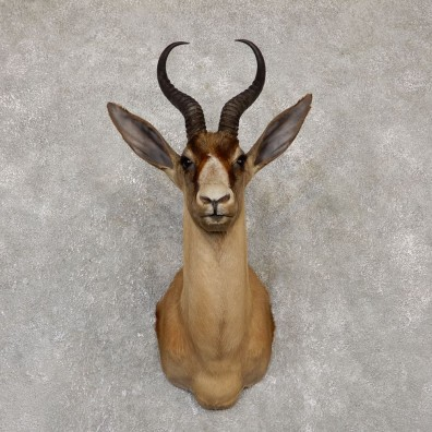 Black Springbok Shoulder Mount For Sale #20149 @ The Taxidermy Store