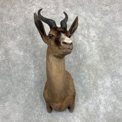 Black Springbok Shoulder Mount For Sale #22124 @ The Taxidermy Store
