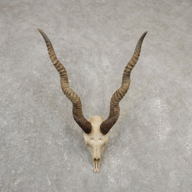 Blackbuck Skull & Horn European Mount For Sale #20552 @ The Taxidermy Store