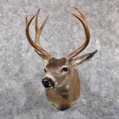 BlackTail Deer Antlers For Sale - taxidermybroker.com