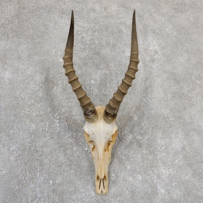 Blesbok Skull Horn European Mount For Sale #19322 @ The Taxidermy Store